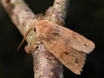 Toplet forrsugle (Orthosia munda)